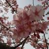 そろそろ、河津桜の季節です。