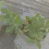 スナップエンドウ収穫できました!!