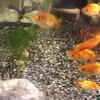 金魚の成長