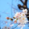 今日の桜 03/21