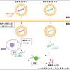 mRNAワクチンが抗原を作り出す仕組み