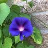 西洋朝顔・Heavenly Blue ヘブンリーブル―がやっと咲きました! 種は幻覚作用があって危険です…