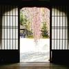 あらゆる角度から収めたくなる美貌の1本、『高台寺』のしだれ桜、とお茶スポット【2019年・京の桜】