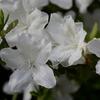 挿し木で増やしたツツジが8分咲き!!(^_^)v よろこびもひとしお