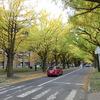 札幌市 北大 銀杏並木 / 今日から北大金葉祭 いちょうの一番きれいな日?