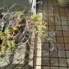 ベランダの植木と年賀状