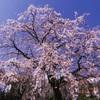 枝垂桜/春うらら