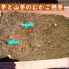 山芋と山芋のむかご発芽、いちごの摘蕾
