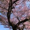 桜と米粉の焼き菓子でティータイム