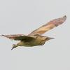 サンカノゴイ夏至に飛ぶ