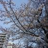五分咲きの桜とエンジニアブーツ