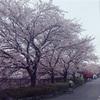 え、まって。家の前の桜最強じゃね?🌸