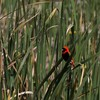 ミナミキンランチョウ(Southern Red Bishop)