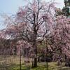 E-PL6 小石川後楽園で最後のサクラを観賞