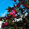 山茶花と飛行機雲