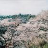 桜、ならびにお詫びと訂正