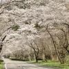 桜のトンネルを抜けて
