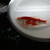 導入魚合流。