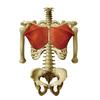 素直な親父は大胸筋の鍛え方を解剖学から科学的に勉強しました。