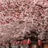 桜が開花した