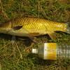 身近なのにパワフルな魚。そして釣法も奥深い。カープ・フィッシング(コイ釣り)のススメ。