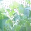 賃貸のベランダでへちまグリーンカーテン完成!電気料金が5000円安くなった