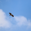 霞ヶ浦浮島(妙岐の鼻)付近を飛翔するミサゴ