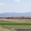 2021年「手取川の堤桜」