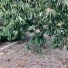 栗や柿など秋の収穫(田舎に帰省しました)