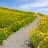 初夏の黄色い花畑