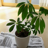 観葉植物の植え替え・鉢替えのやり方とベストな時期!カポックの鉢交換