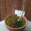 モミジの冬芽も蒴も膨らむ