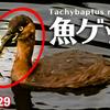1129【川魚をカイツブリが捕食】カワセミの美しいホバリングにオオバン飛翔。コサギがミミズを食べる。野良猫が獲物狙う動き。ネコかわいい。バンの捕食など【 #今日撮り野鳥動画まとめ 】 #身近な生き物語