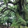 大楠とクロモジの木