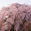 2021 雲居寺の枝垂れ桜
