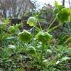 けさの庭・・・春の息吹クリスマスローズ、イカリソウ、芍薬の芽