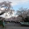 そろそろ桜の花がみごろです^^