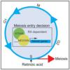 減数分裂のスイッチ因子「MEIOSIN」の発見