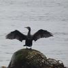 【野鳥】「あー めんどくさー」と、カワウは濡れた羽を広げる