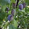 シュガープルーンの実が採れ始めました