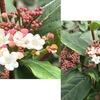 ビバーナム ティヌスの花が咲いています.「よい和名や流通名が与えられておらず、それほど知名度はありません」 同属にはオオデマリ,サンゴジュなどよく知られた植物があります.人気を広めるには良い和名が必要ですね.