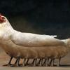 六本足の鶏・・・これが嘘か真かって?これを見てもあなた達は、噂で都市伝説で済ませますか?