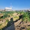 JAモニターで難波ネギの収穫体験