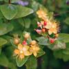 ヒペリカムの黄色い花と赤い実(秋田県秋田市)