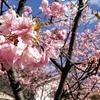 満開の河津桜を求めて