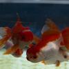 岡本太郎ママによる「金魚繚乱」は金魚で男の人生も繚乱