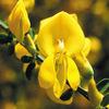 今日の誕生花「エニシダ」魔女がまたがって空を飛ぶ箒(ほうき)の花!