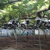 JAのモニターで葡萄狩り体験