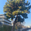 「危険」な街路樹の伐採
