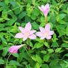 レインリリー ピンクの花たち